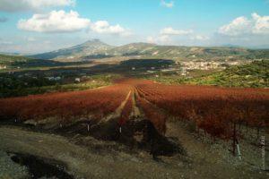 Vineyard Polivou